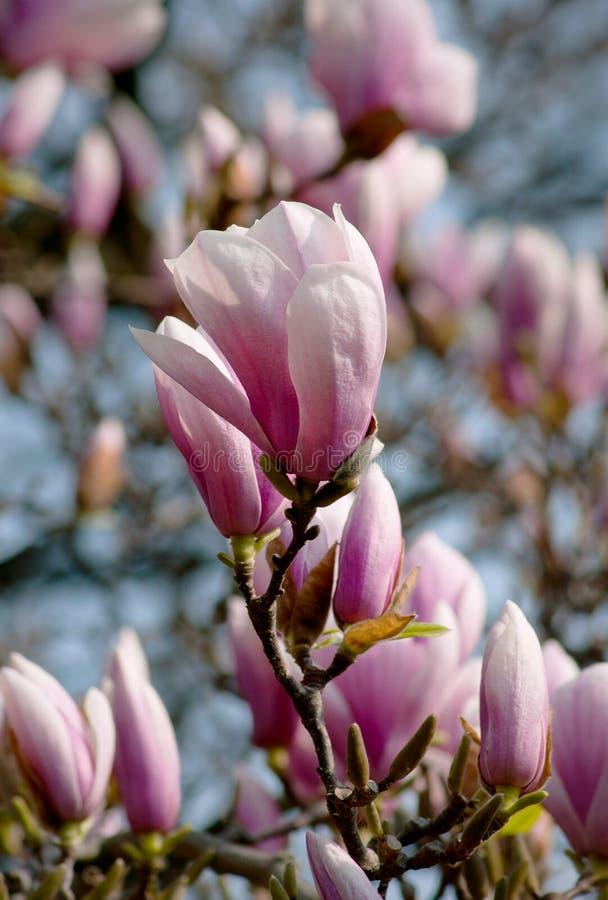 Magnolia покрыл вал стоковые фотографии rf
