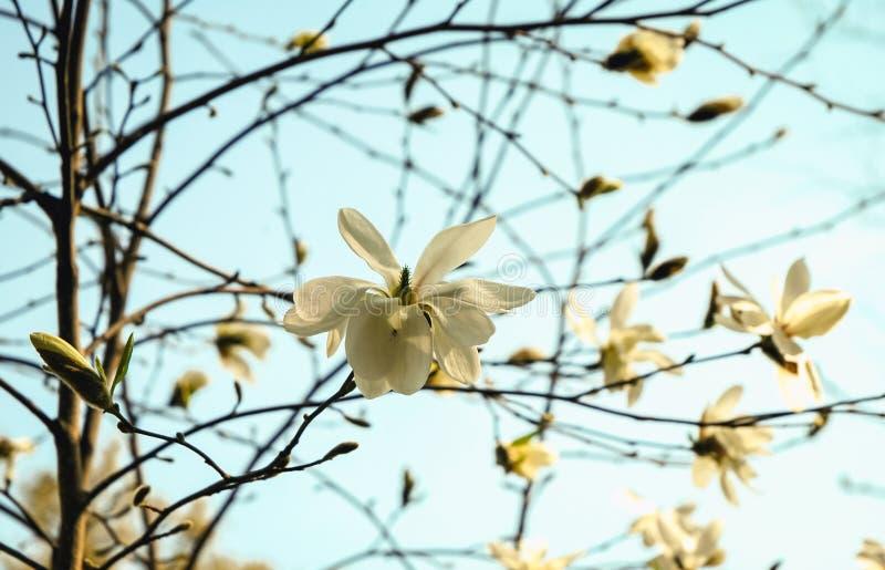 magnolia сада стоковые изображения