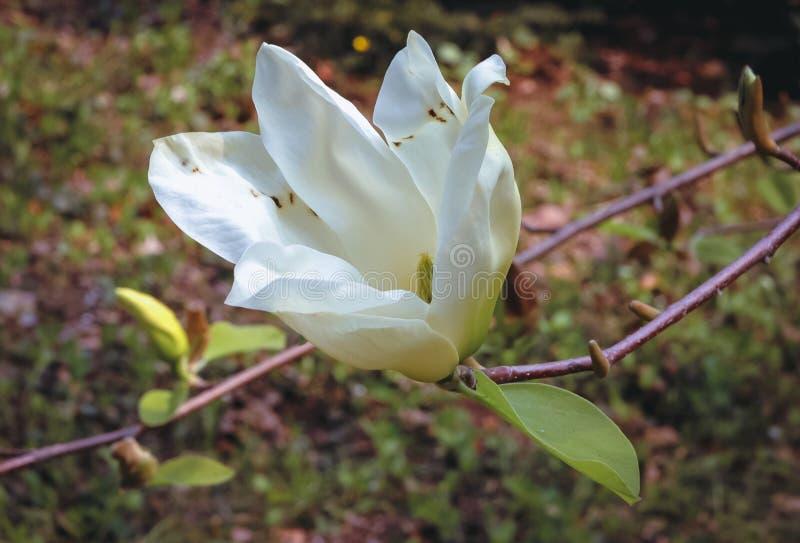 magnolia сада стоковое изображение rf