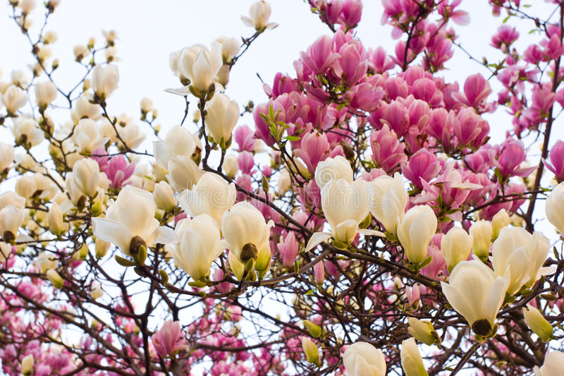 magnolia цветения стоковое фото