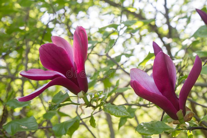 magnolia imagem de stock