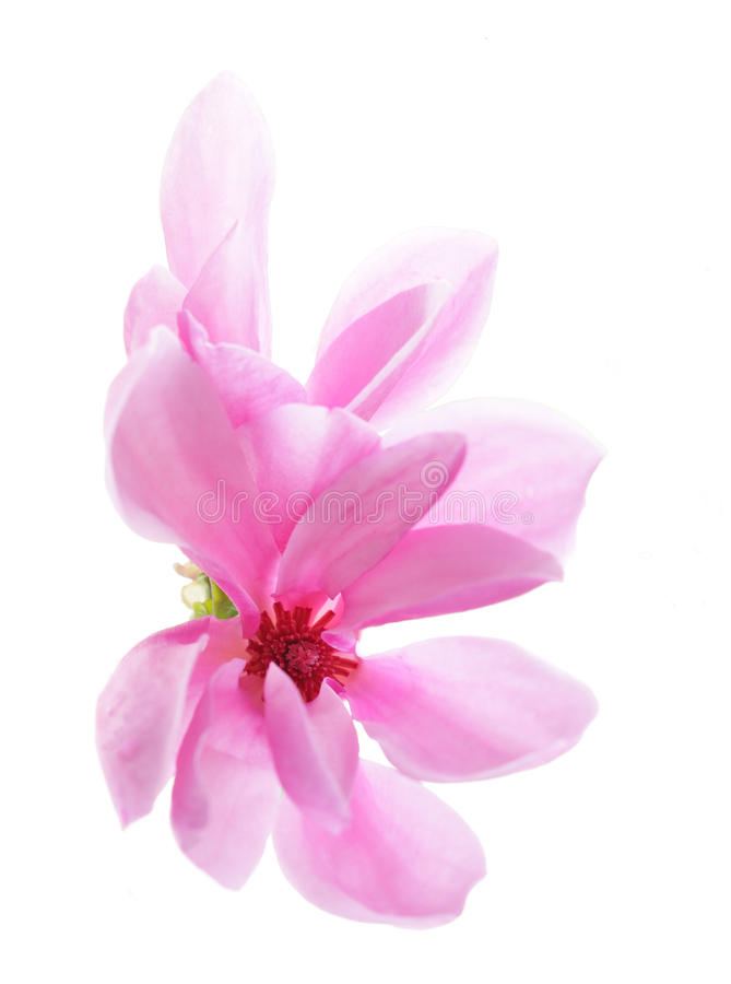 Magnolia imagem de stock royalty free