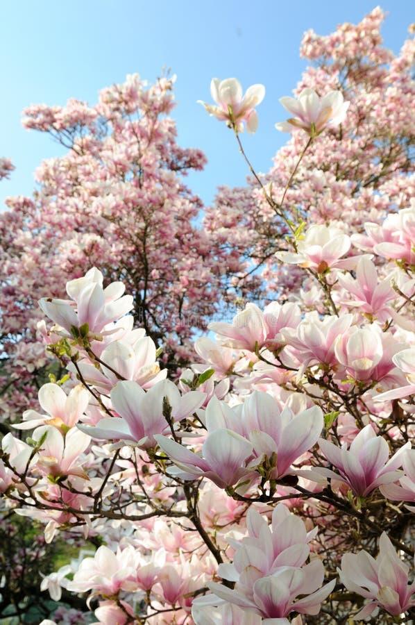 Magnolia imagenes de archivo