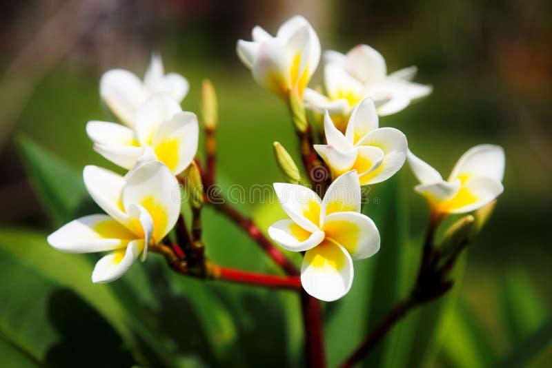 magnolia fotografering för bildbyråer