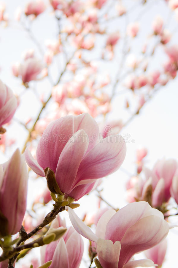 Magnolia immagine stock immagine di petalo fresco for Magnolia pianta prezzi