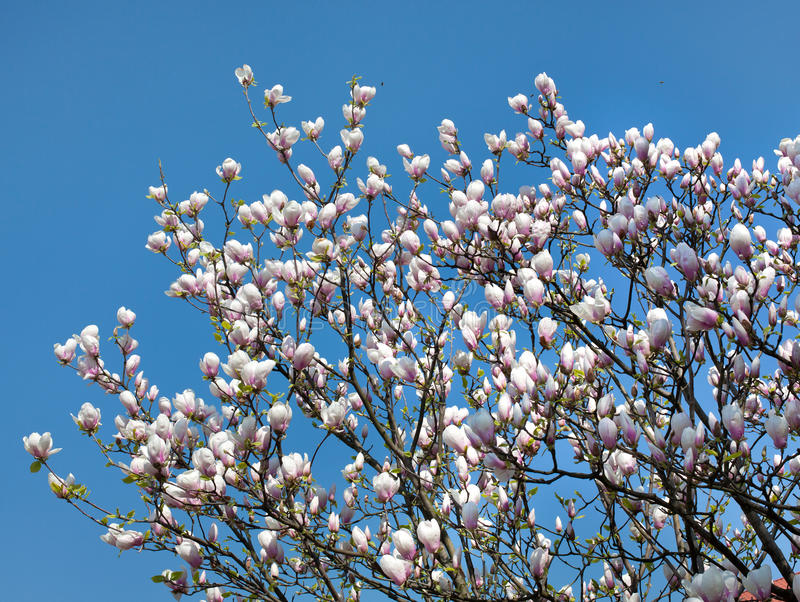Download Magnolia stock photo. Image of branch, beauty, culture - 23668902