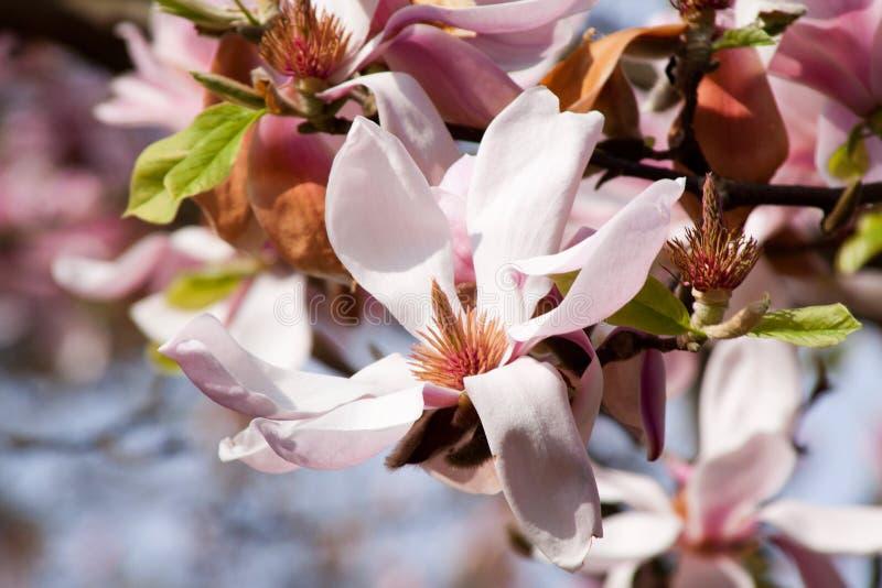 magnolia стоковое фото
