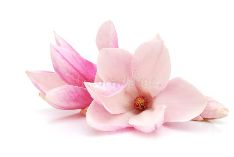 magnolia στοκ φωτογραφία με δικαίωμα ελεύθερης χρήσης