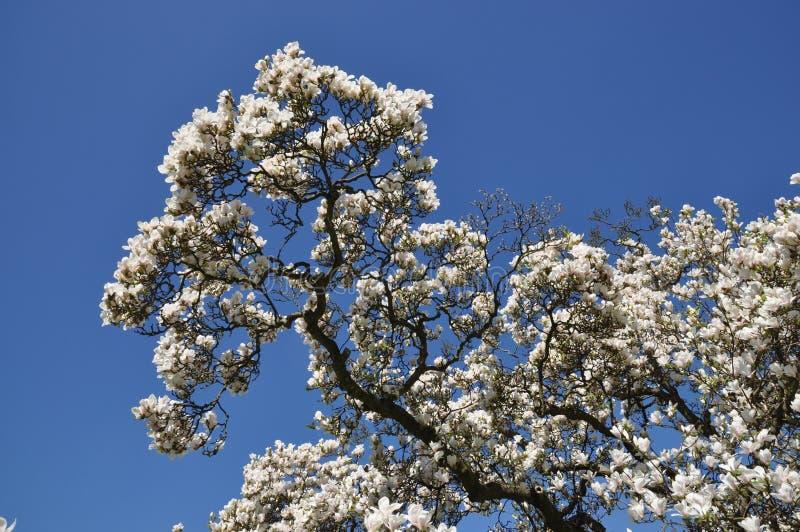 Magnolia foto de stock royalty free