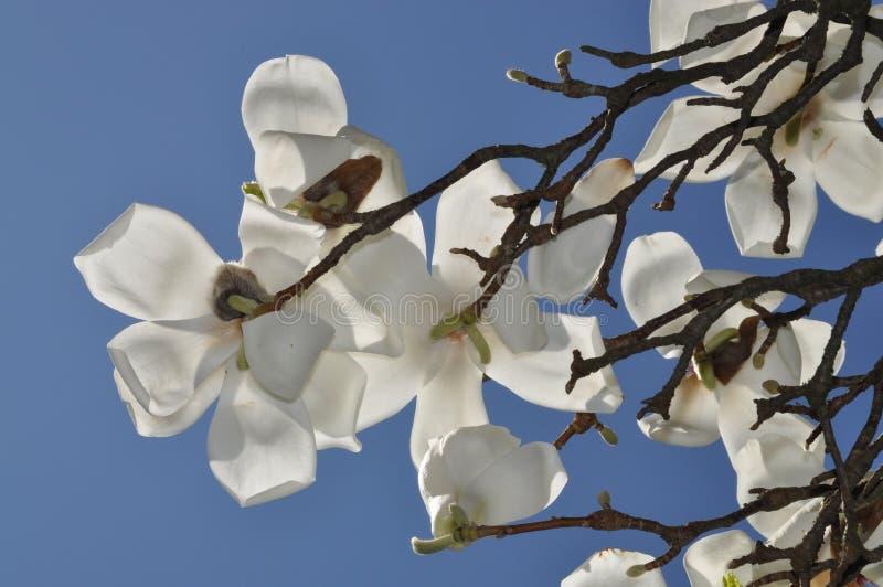 Magnolia image libre de droits