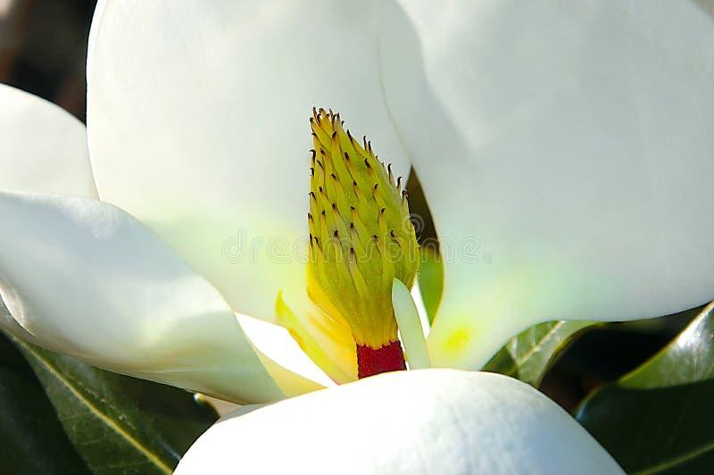 Magnolia fotografia de stock
