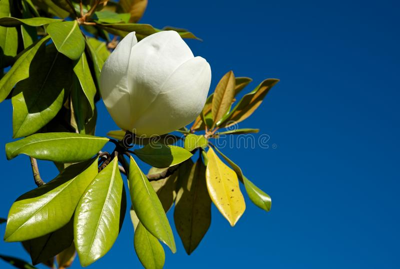 Magnolia. stock photo