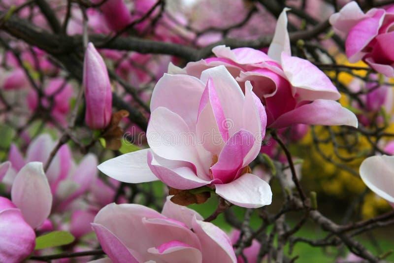 Magnolia obrazy royalty free