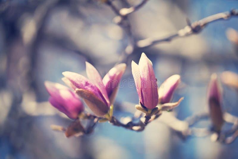 Magnolia photographie stock