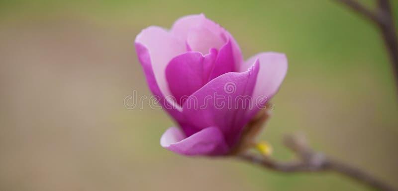 Magnolia photos stock