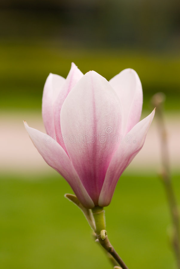 Download Magnolia 3 stock image. Image of close, plants, nature - 2309149