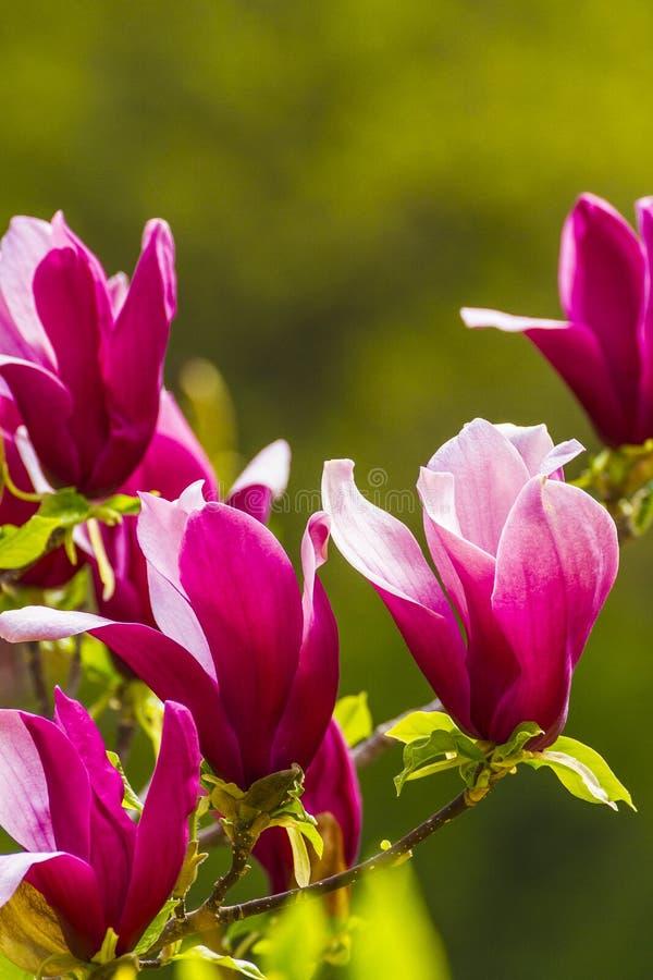Magnolia zdjęcie royalty free