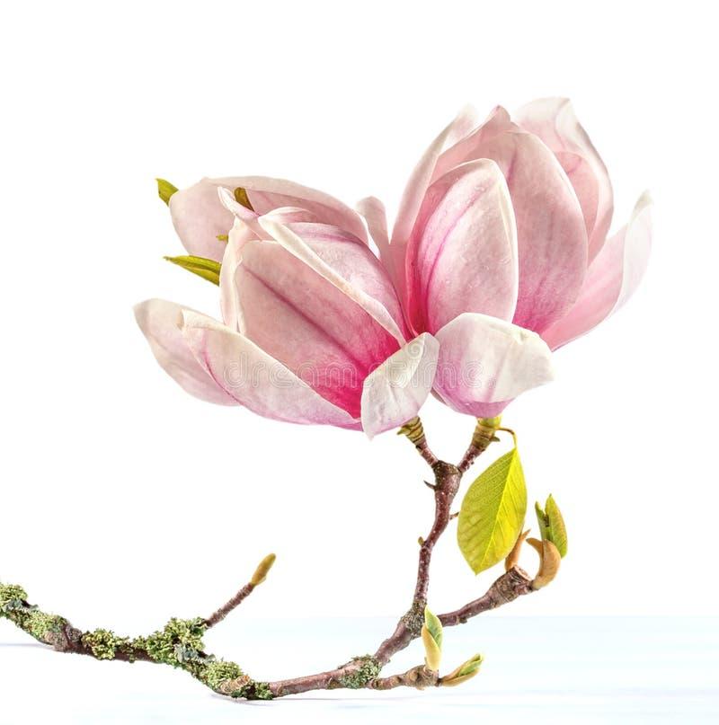magnolia arkivfoto bild av magnolia fj der livstid. Black Bedroom Furniture Sets. Home Design Ideas