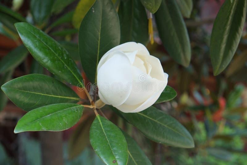 Magnolia royalty-vrije stock fotografie