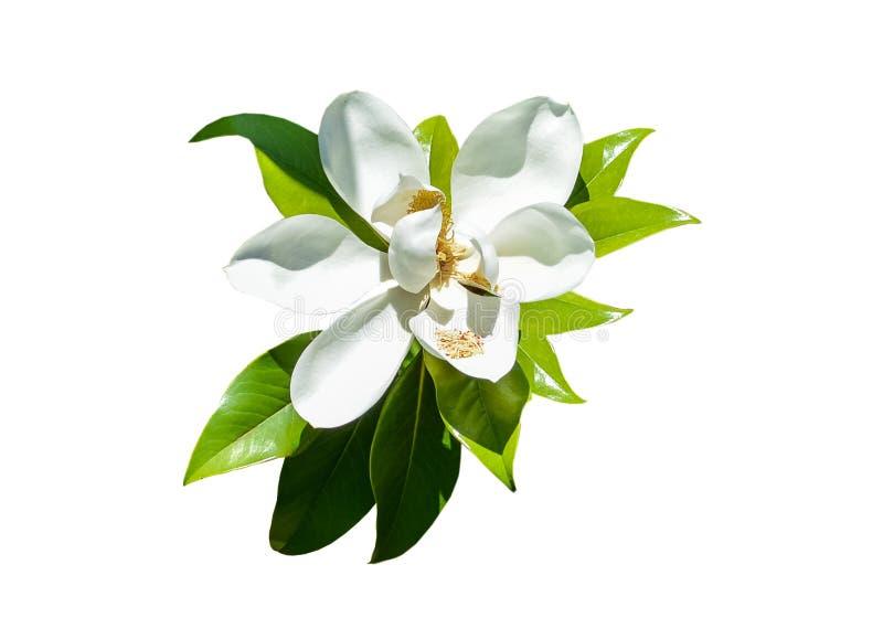 Magnolia στοκ φωτογραφία