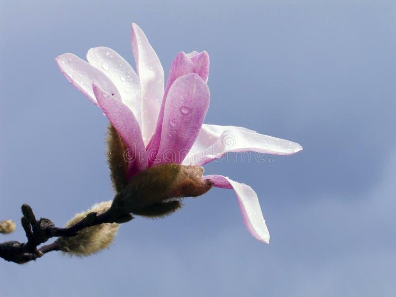 Download Magnolia stock photo. Image of drop, soft, pink, romance - 636286