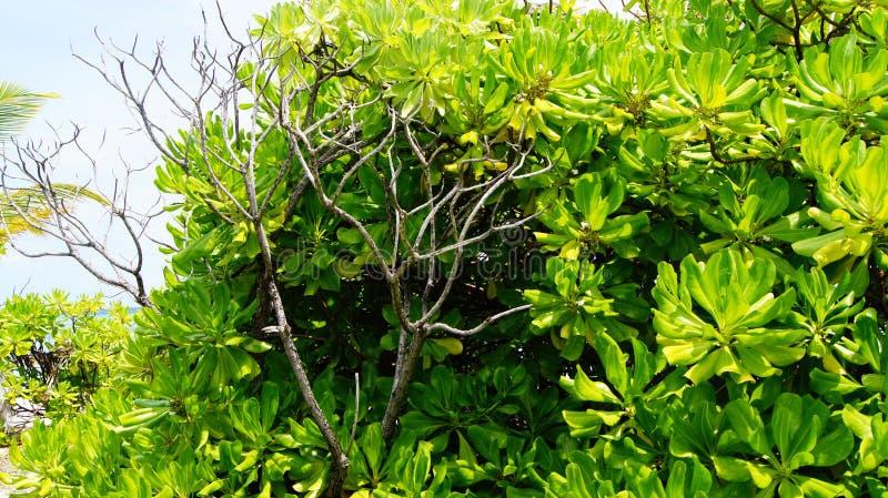Magnolia photographie stock libre de droits