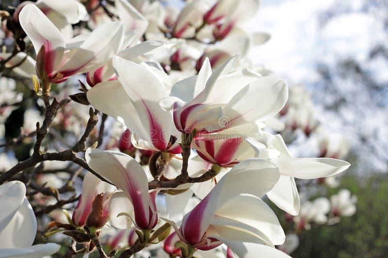 Magnolia stock foto