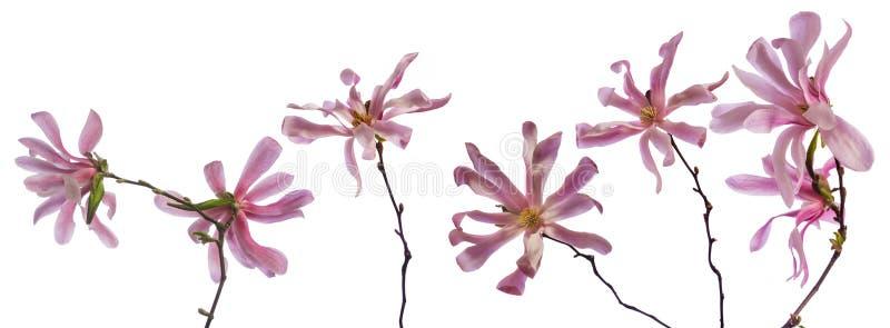 Magnolia zdjęcia royalty free