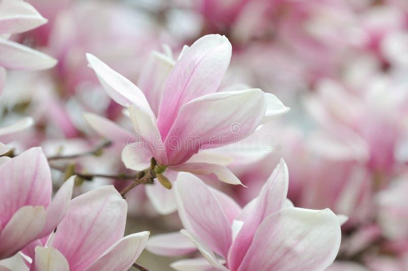 Magnolia Alexandrina foto de archivo libre de regalías