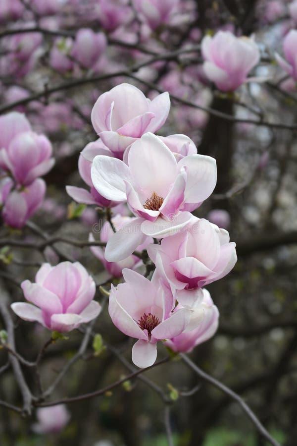 Magnolia Alexandrina fotos de stock royalty free