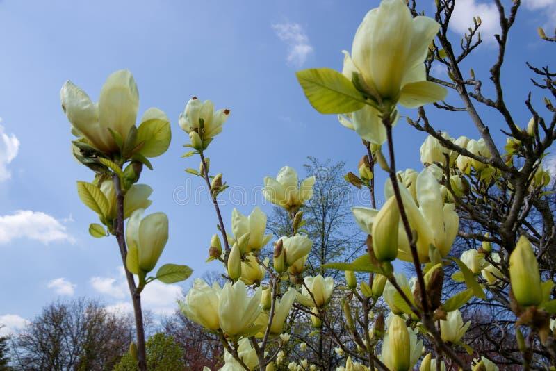 Magnolia amarilla clara foto de archivo