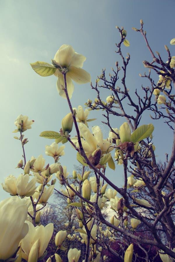 Magnolia amarilla clara imagenes de archivo