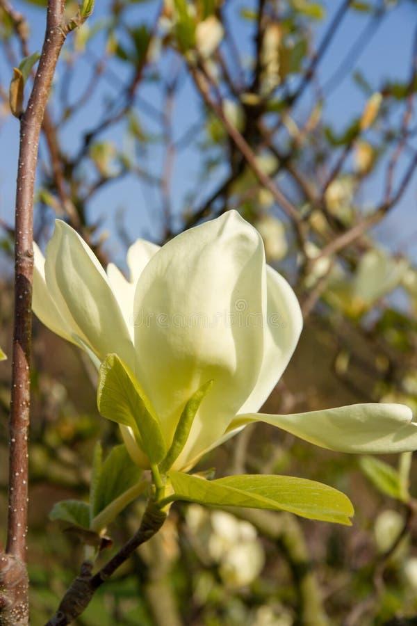 Magnolia amarilla clara fotos de archivo