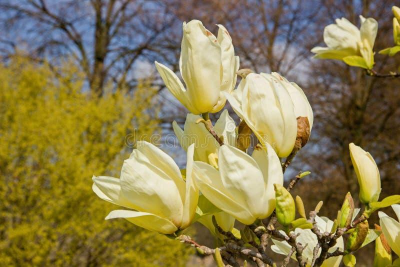 Magnolia amarilla clara fotografía de archivo