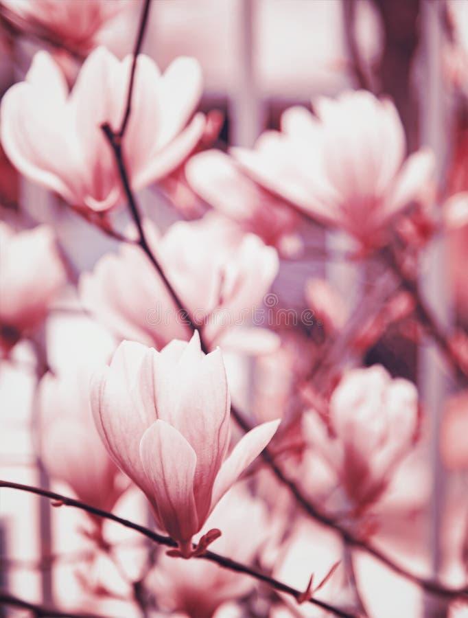 Magnolia background stock photography