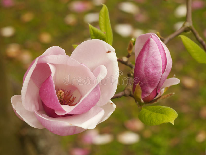 Download Magnolia stock photo. Image of spring, background, color - 39645204