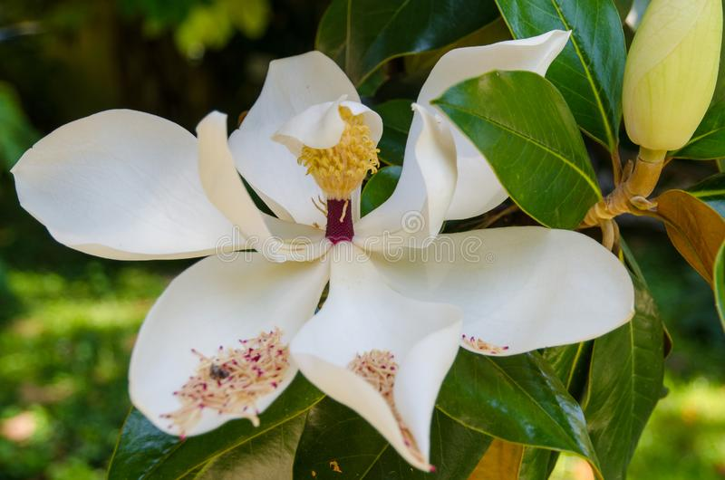 White Magnolia flower in the  garden. Beautiful White Magnolia flower in a botanical garden stock image
