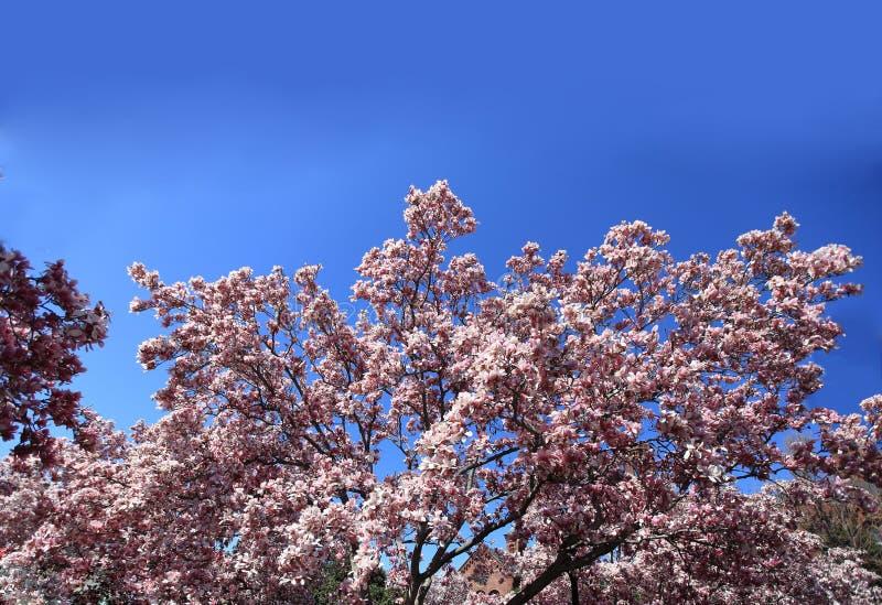 Magnolia. Big magnolia blossom flowers over the blue sky stock images