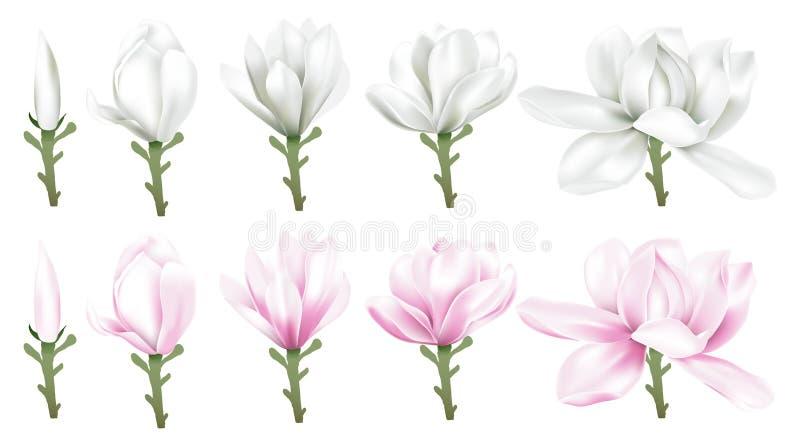 Magnolia blanca y rosada ilustración del vector