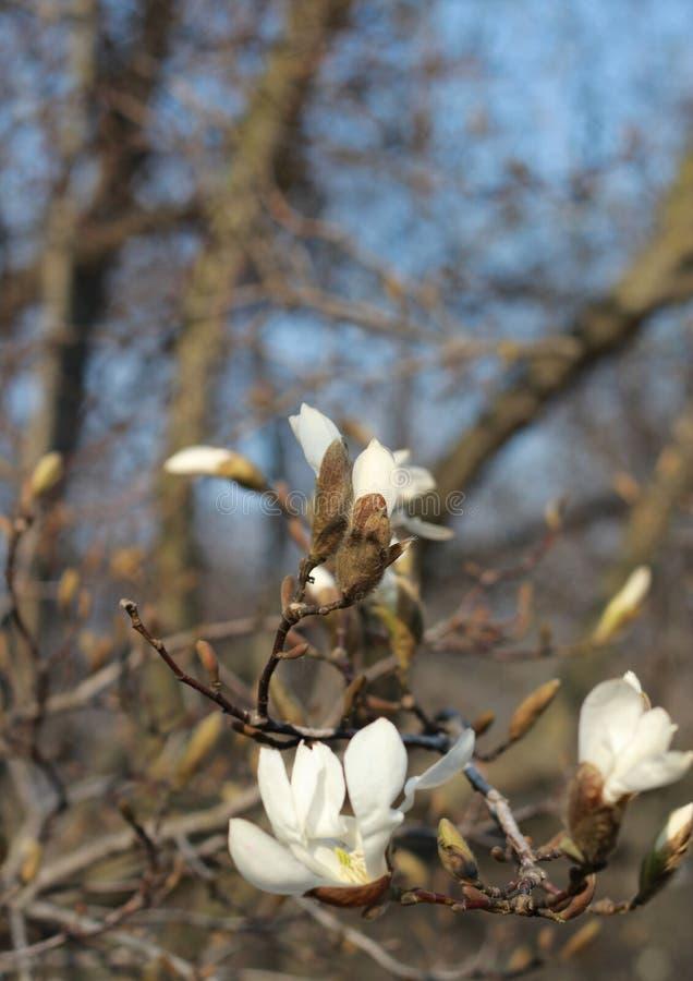 Magnolia blanche de floraison de branche La beauté naturelle de la fleur de ressort images libres de droits
