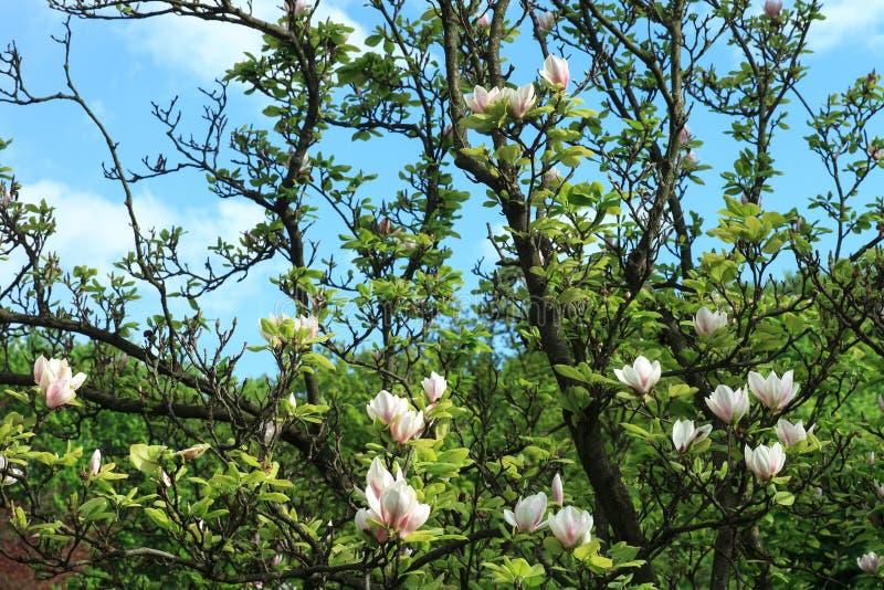 Magnolia bloeiende boom in de lentetuin door blauwe sluw royalty-vrije stock afbeelding