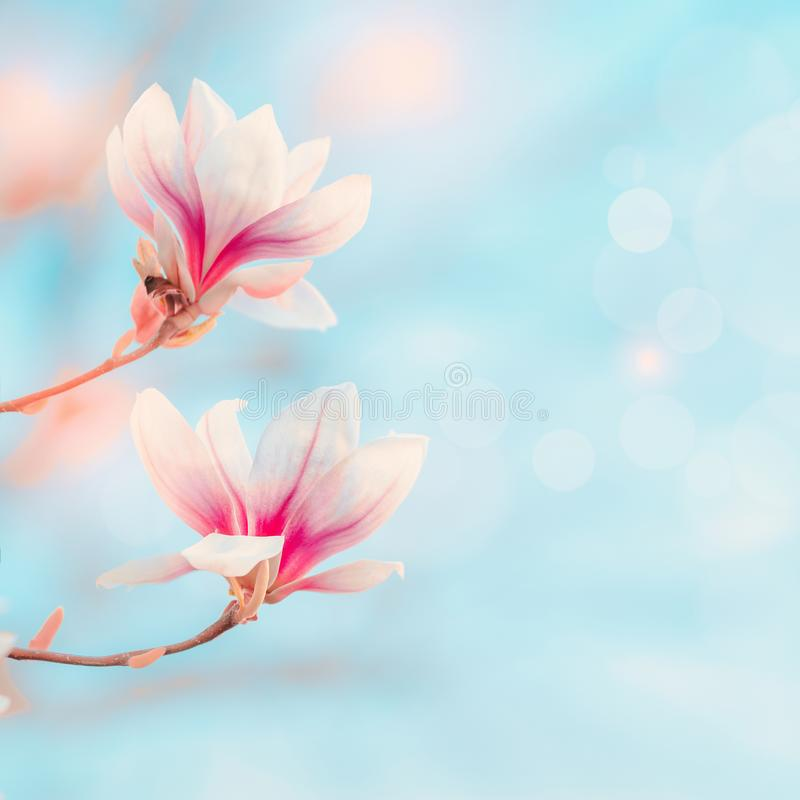 Magnolia blooming at blue sky with bokeh and sunlight. Spring nature background Springtime outdoor concept. Magnolia tree blossom royalty free stock photos