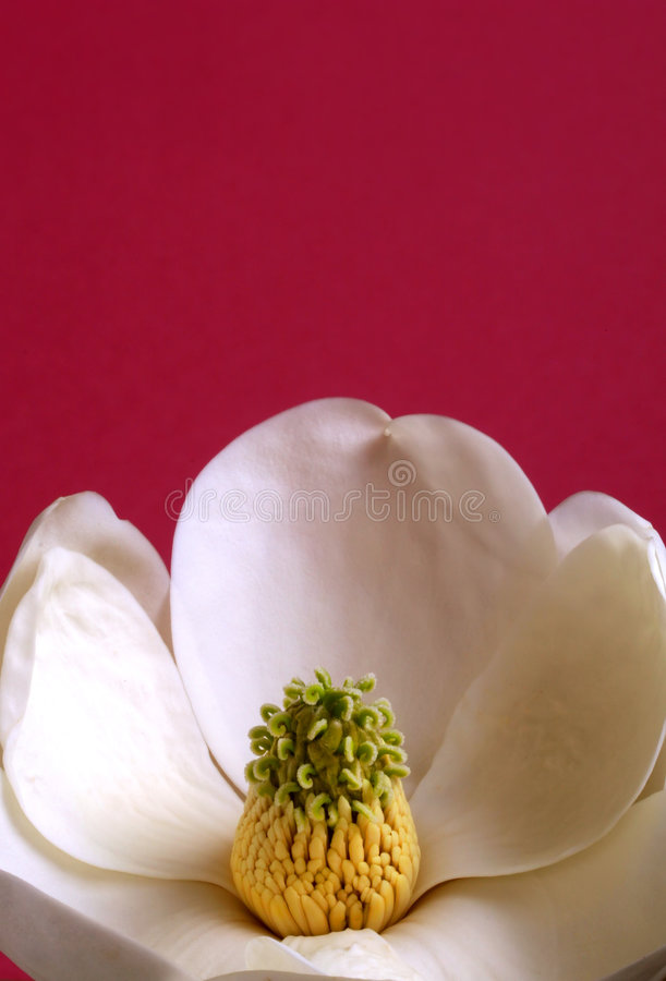 Free Magnolia Blossom Royalty Free Stock Images - 689089