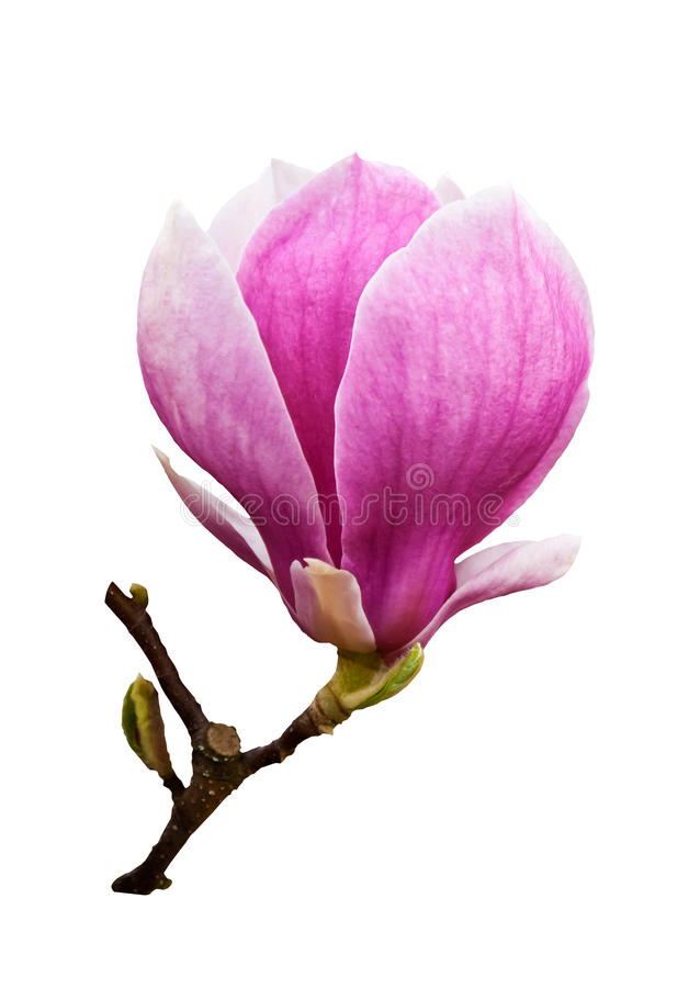 Download Magnolia blossom isolated stock photo. Image of detail - 23392230