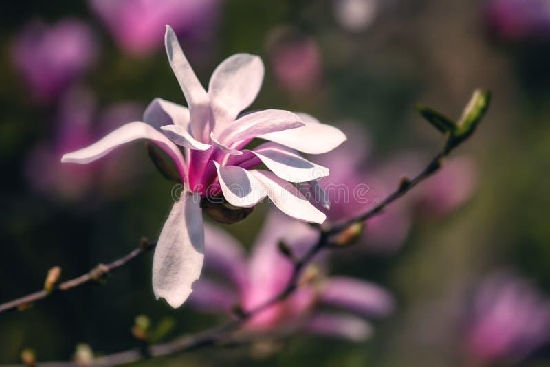 Magnolia blossom, lente buitenachtergrond stock afbeeldingen