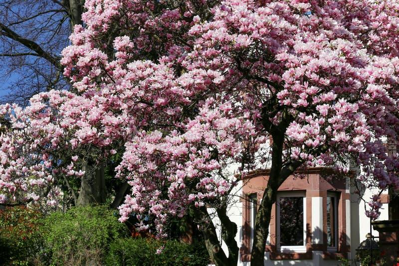 Magnolia blossom in the spring. Magnificent magnolia blossom in the spring stock photo