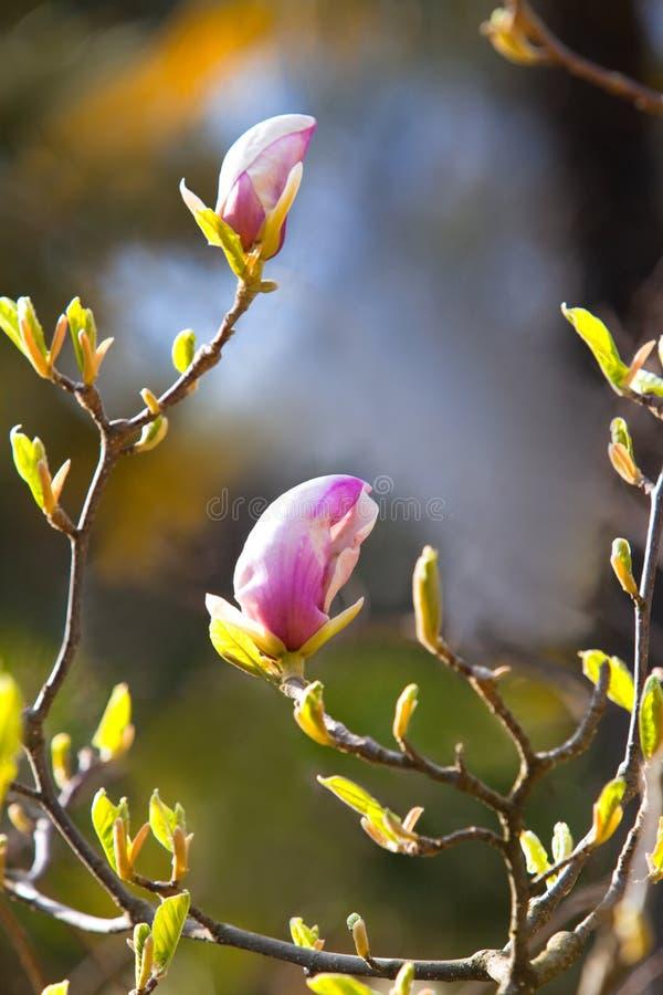 Download Magnolia Blossoms stock image. Image of booming, bush - 23783419