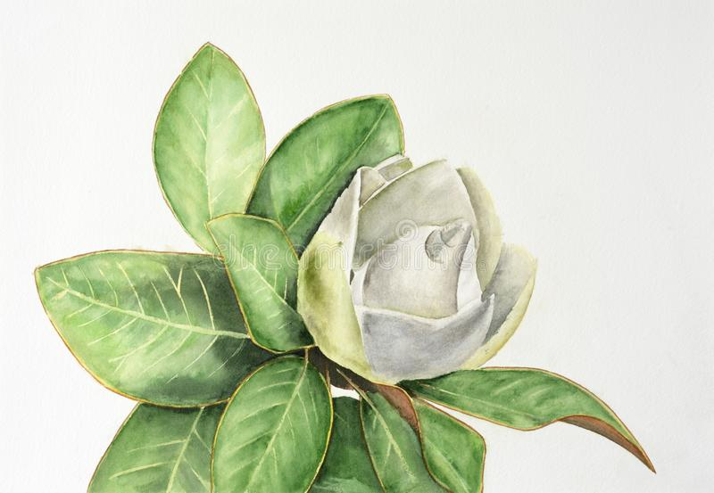 Magnolia branch with leaves and white flower isolated on white background royalty free stock images