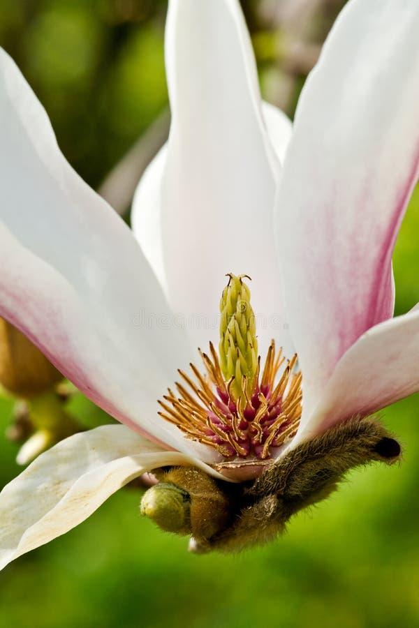 Magnolia branco para dentro. foto de stock