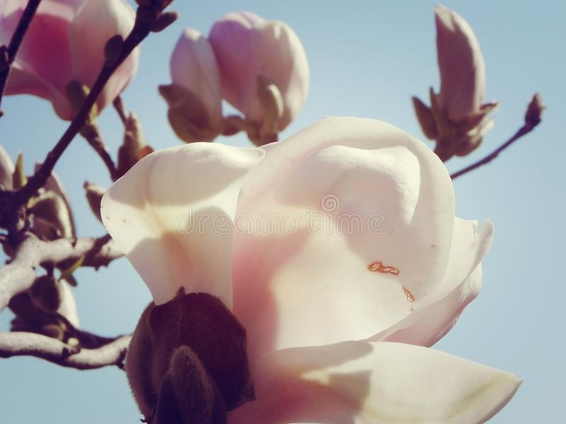 Magnolia in the sun 2. Magnolia bud blooms, magnolia flower, majestic, photo wallpapers, spring background, spring flowers, violet flower, beautiful magnolia stock photo